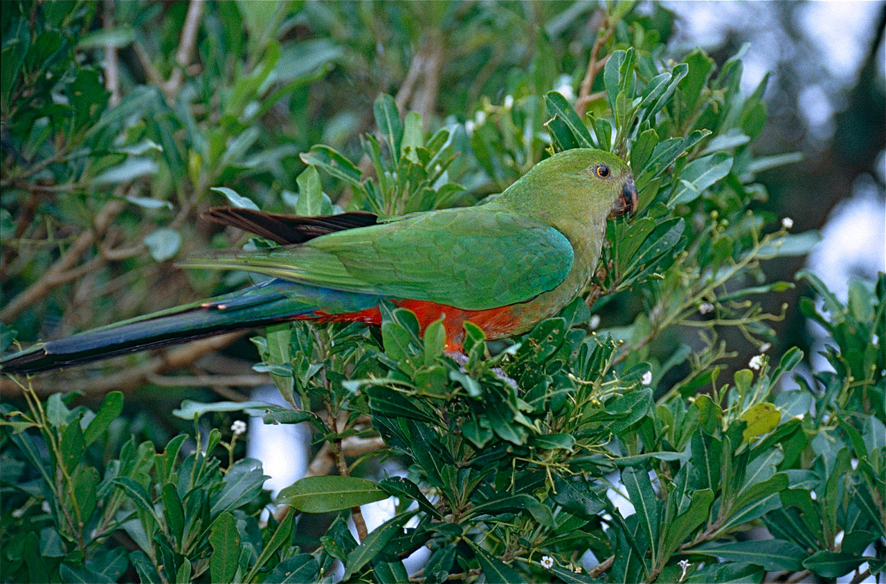 Australian_King_Parrot__female
