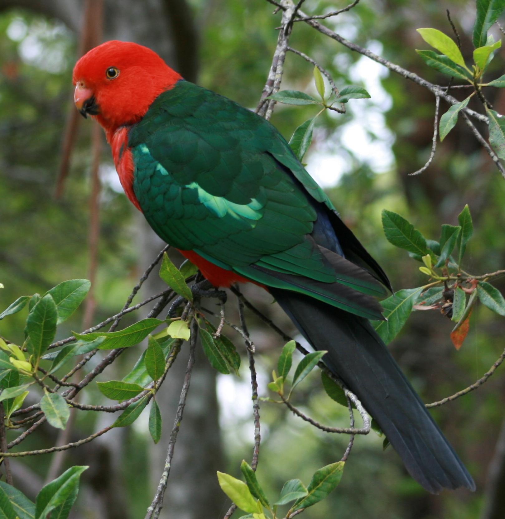 Australian_King_Parrot_male