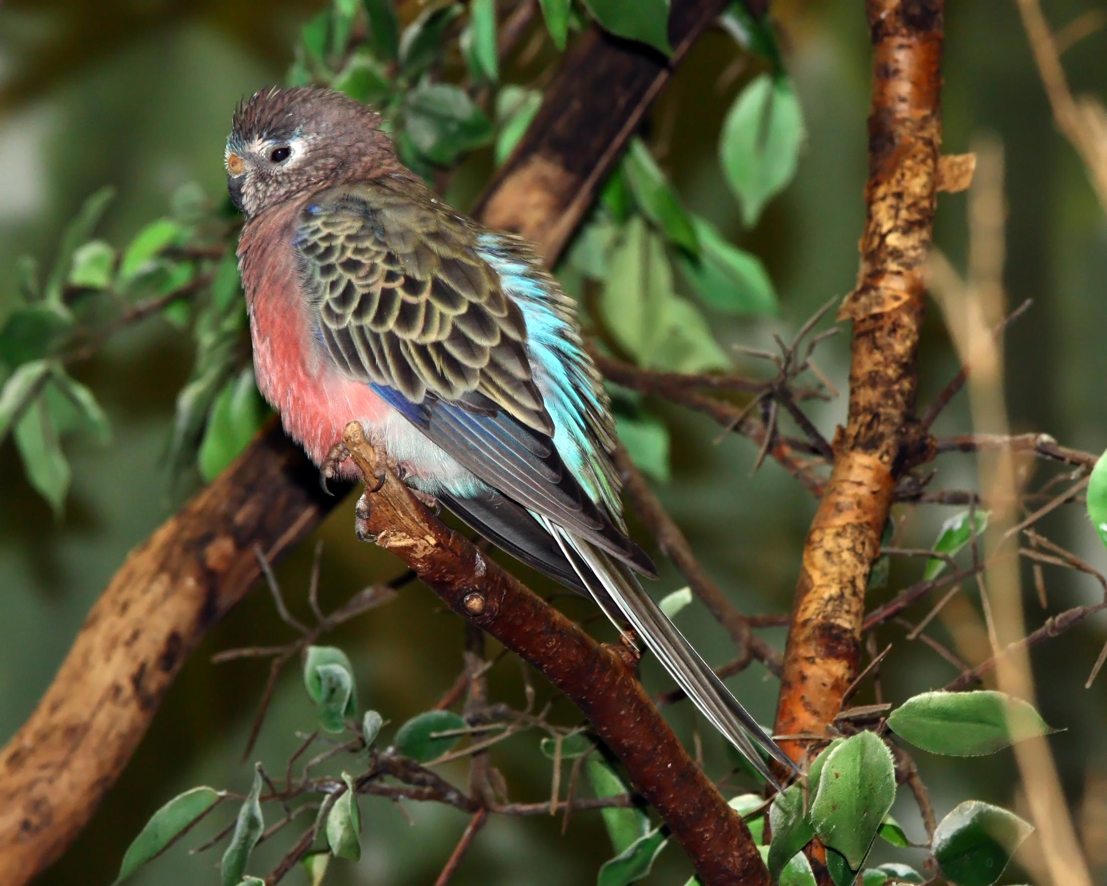 Bourke's Parrot - Neopsephotus bourkii