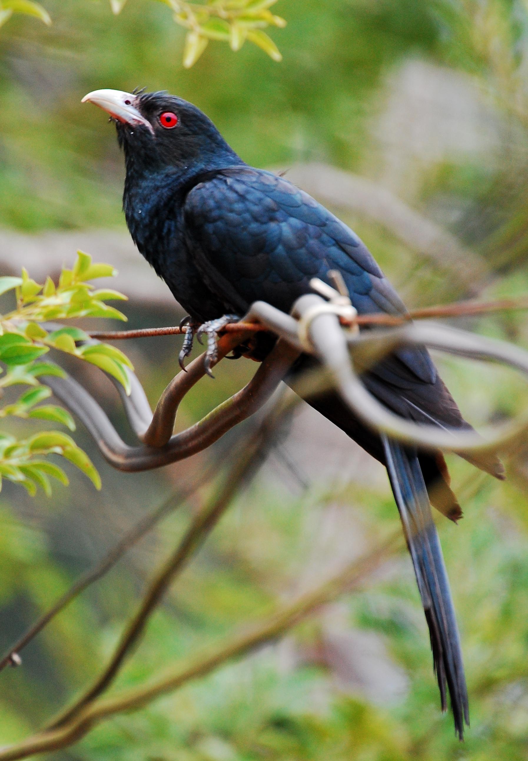 Common Koel Male