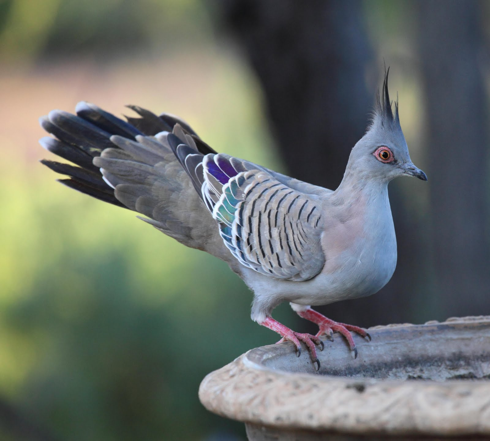 Crested Pigeon 2