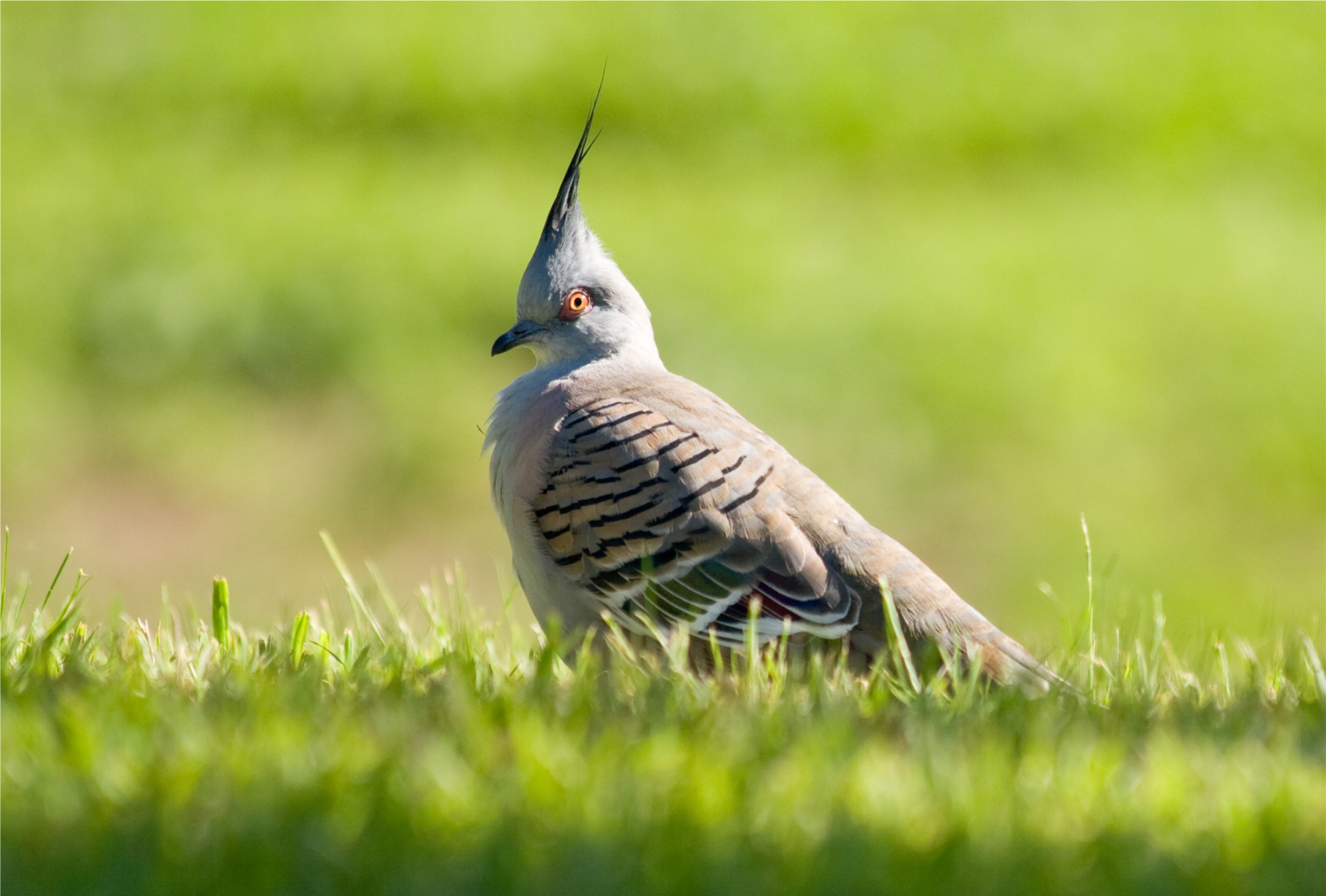 A crested pigeon spotted whilst walking around Narrabri