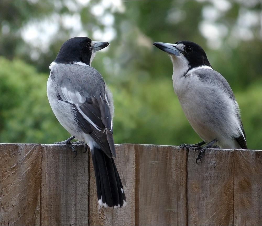 Grey Butcherbird 3