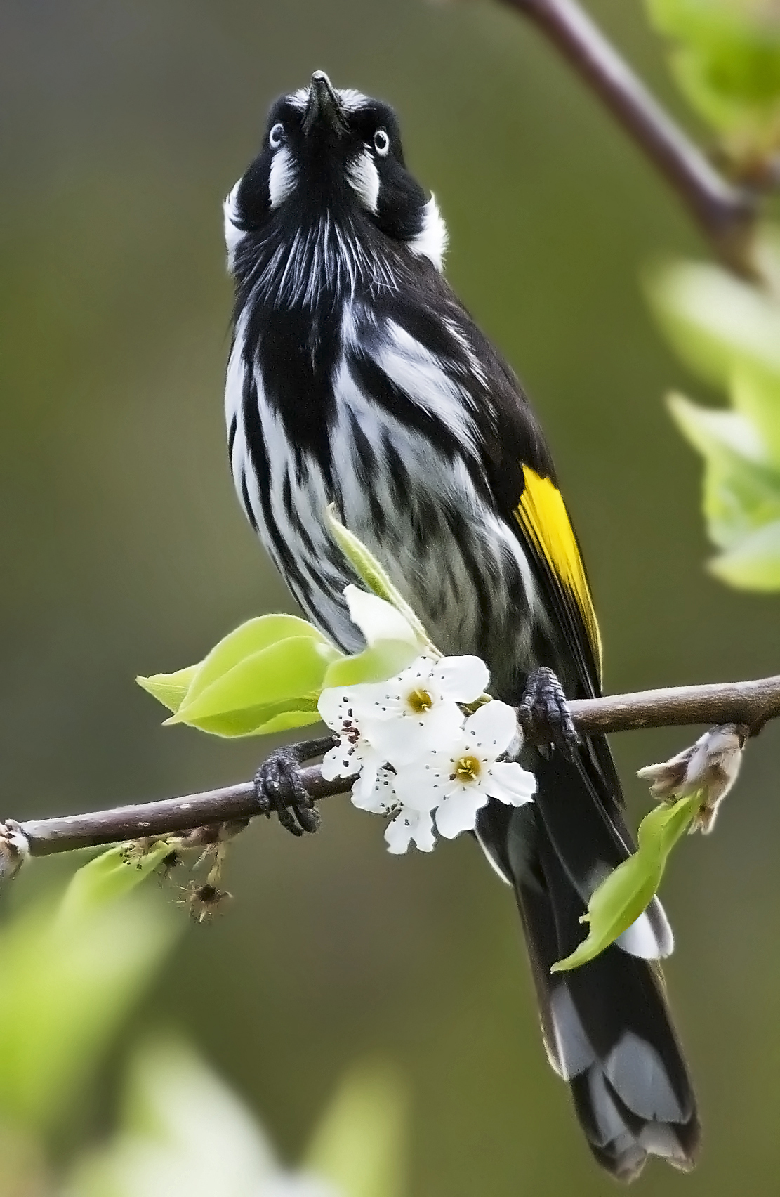 New_Holland_Honeyeater_
