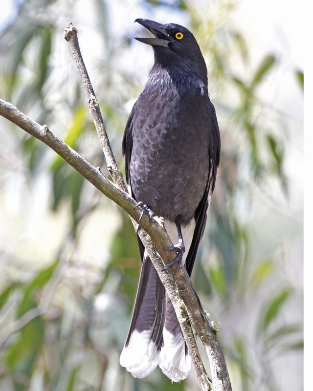 Pied Currawong 2