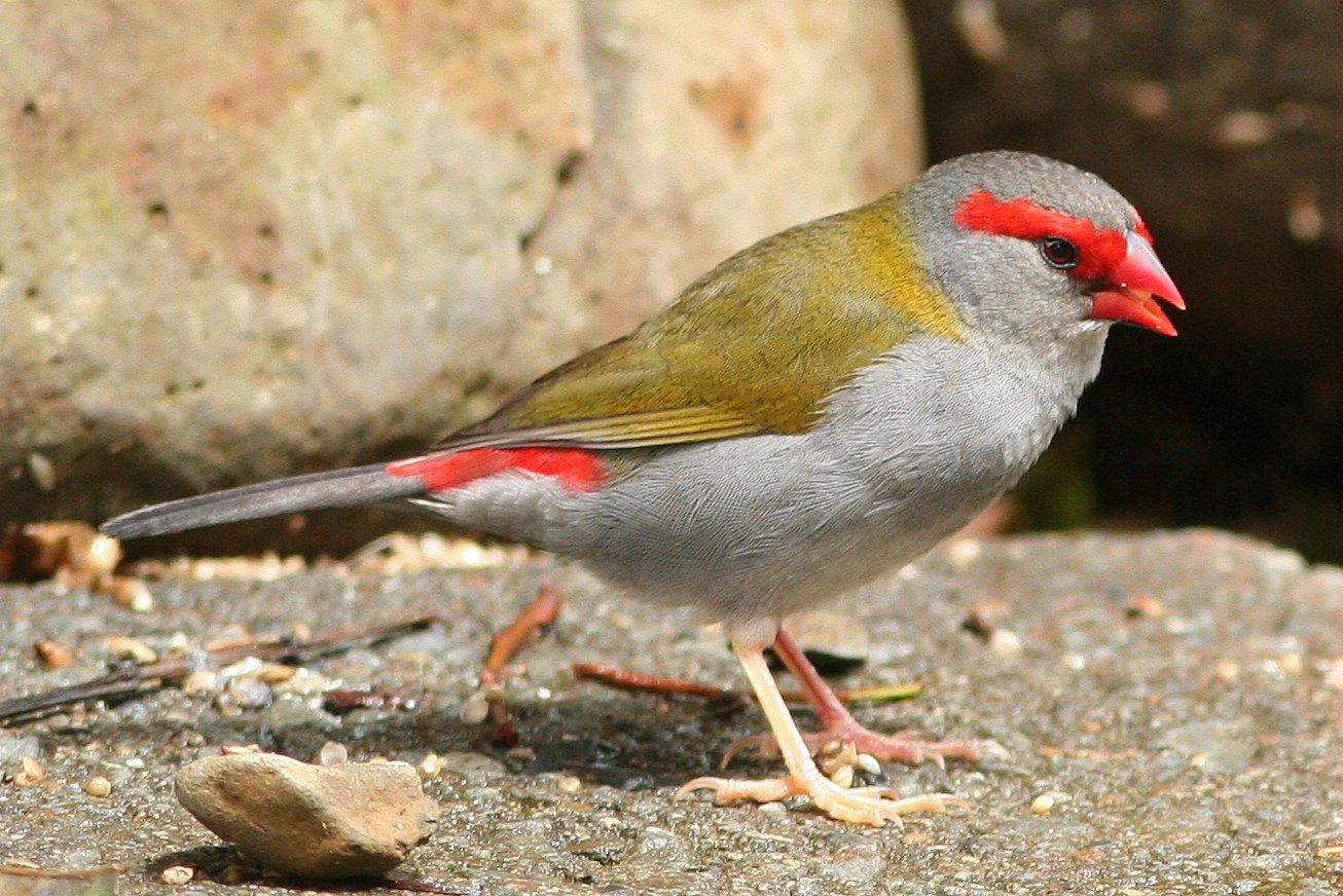 Red-browed_Finch 2