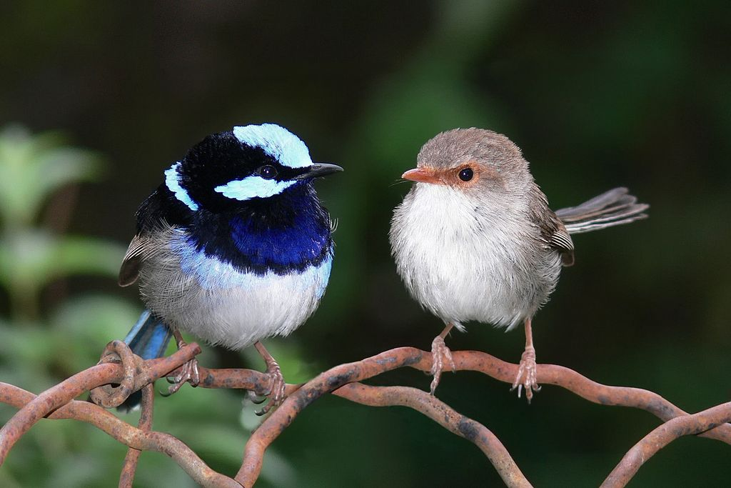 Superb Fairy-wren 2