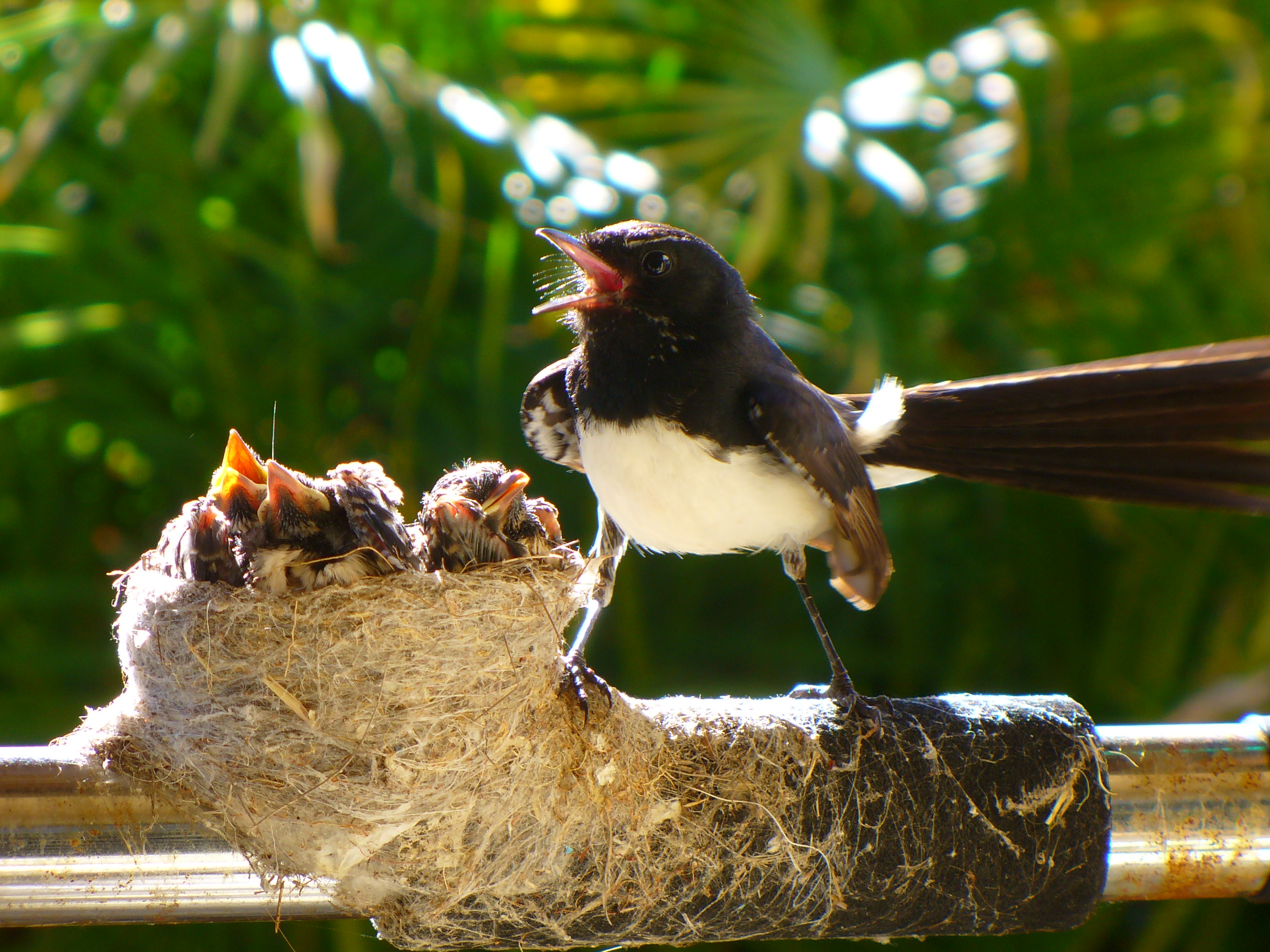 Willie Wagtail 2