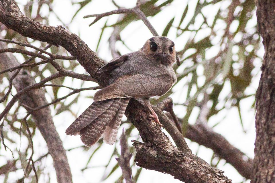 Australian Owlet-nightjar 2