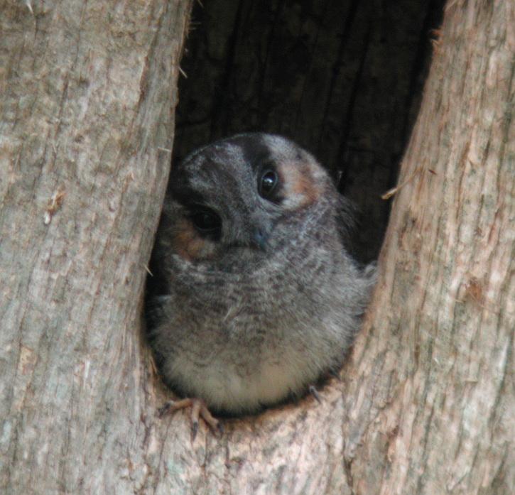 Australian_Owlet-nightjar_