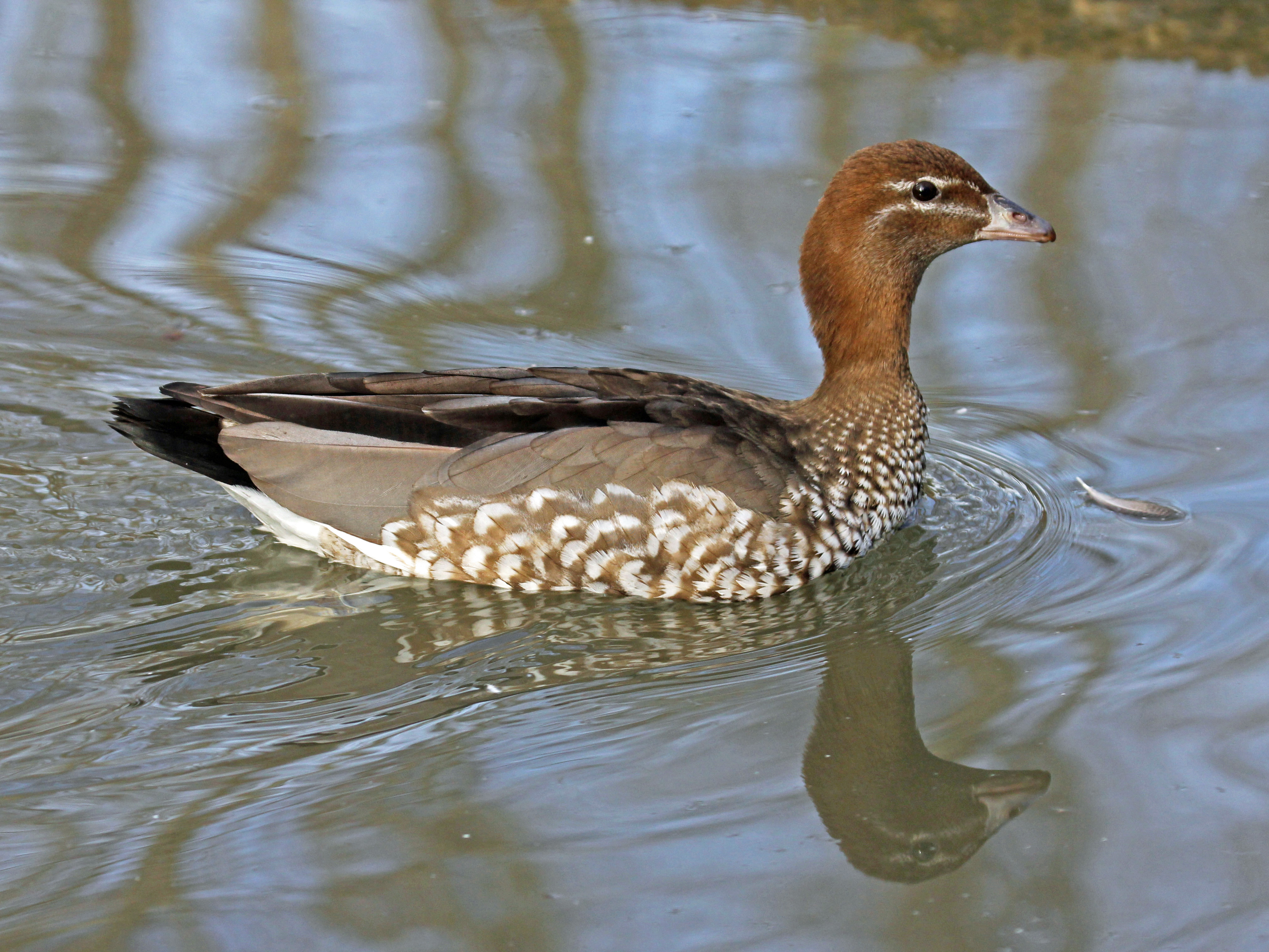 Australian_Wood_Duck_female_RWD