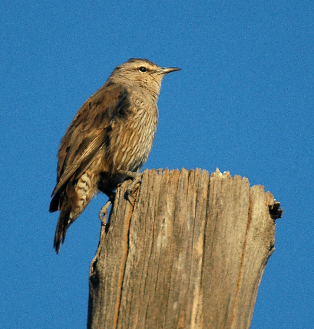Brown_Treecreeper_1