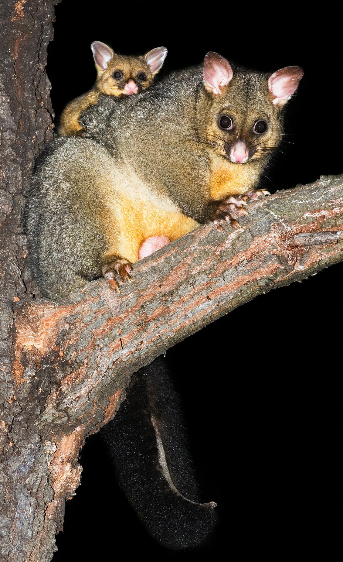 Common Brushtail Possum 1