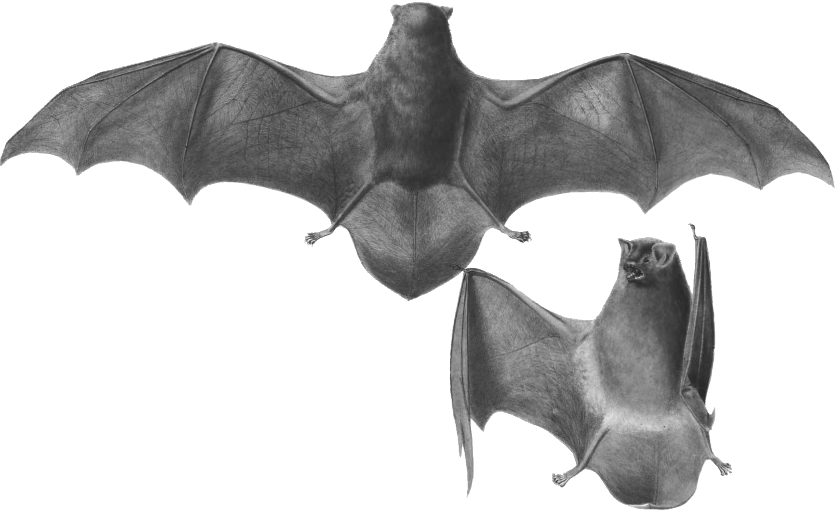 Common bent wing bat