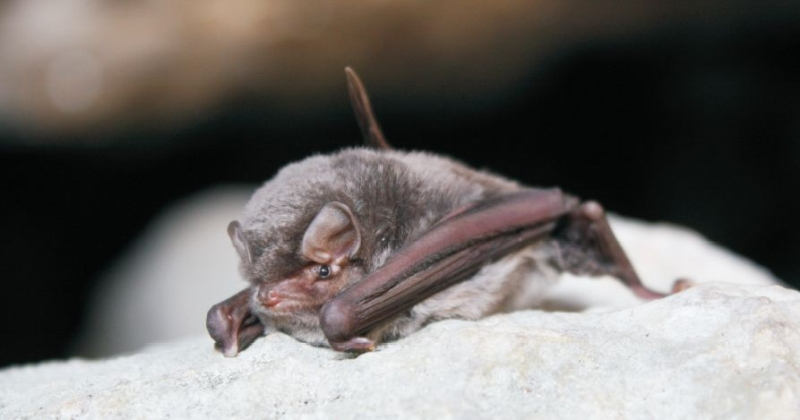Common bent winged bat 2