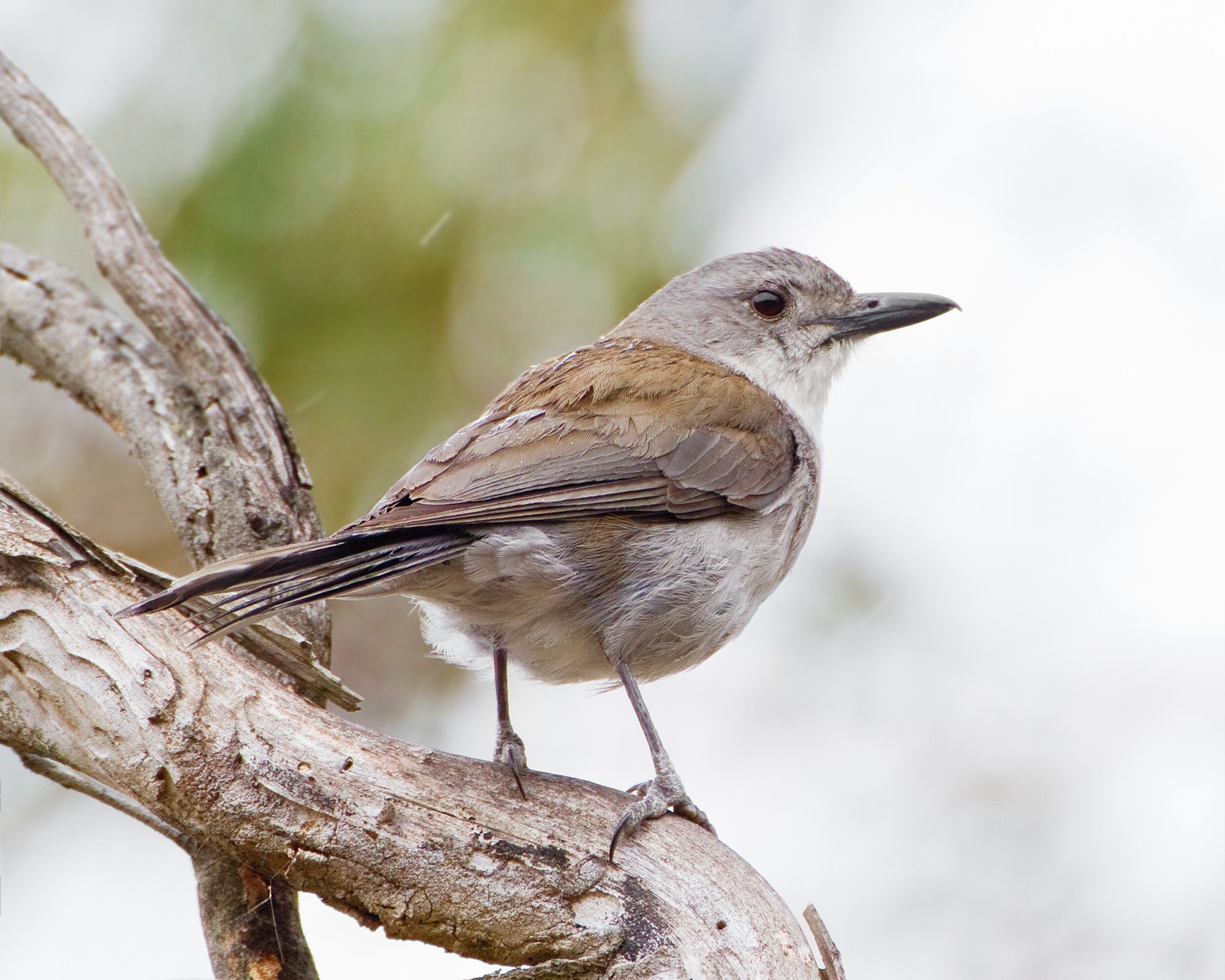 Grey Shrike-thrush 1