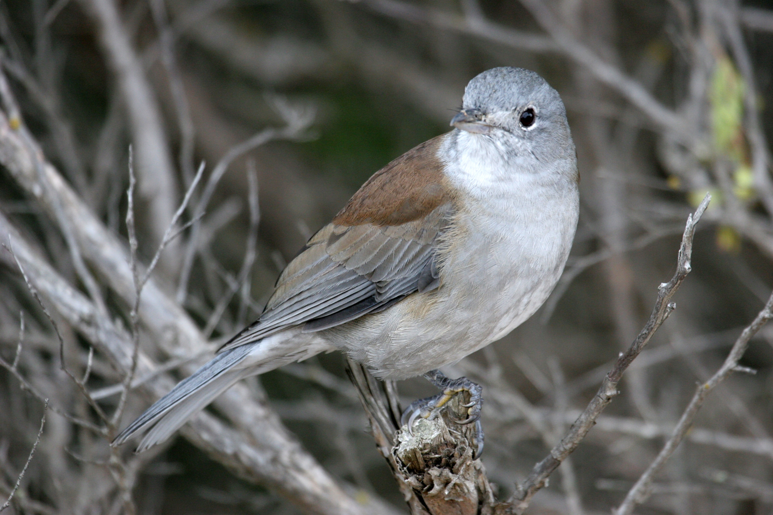 Grey Shrike-thrush 2