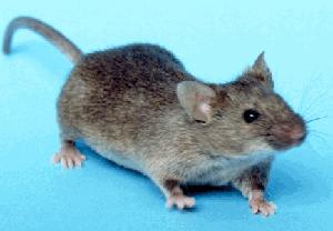 House_mouse