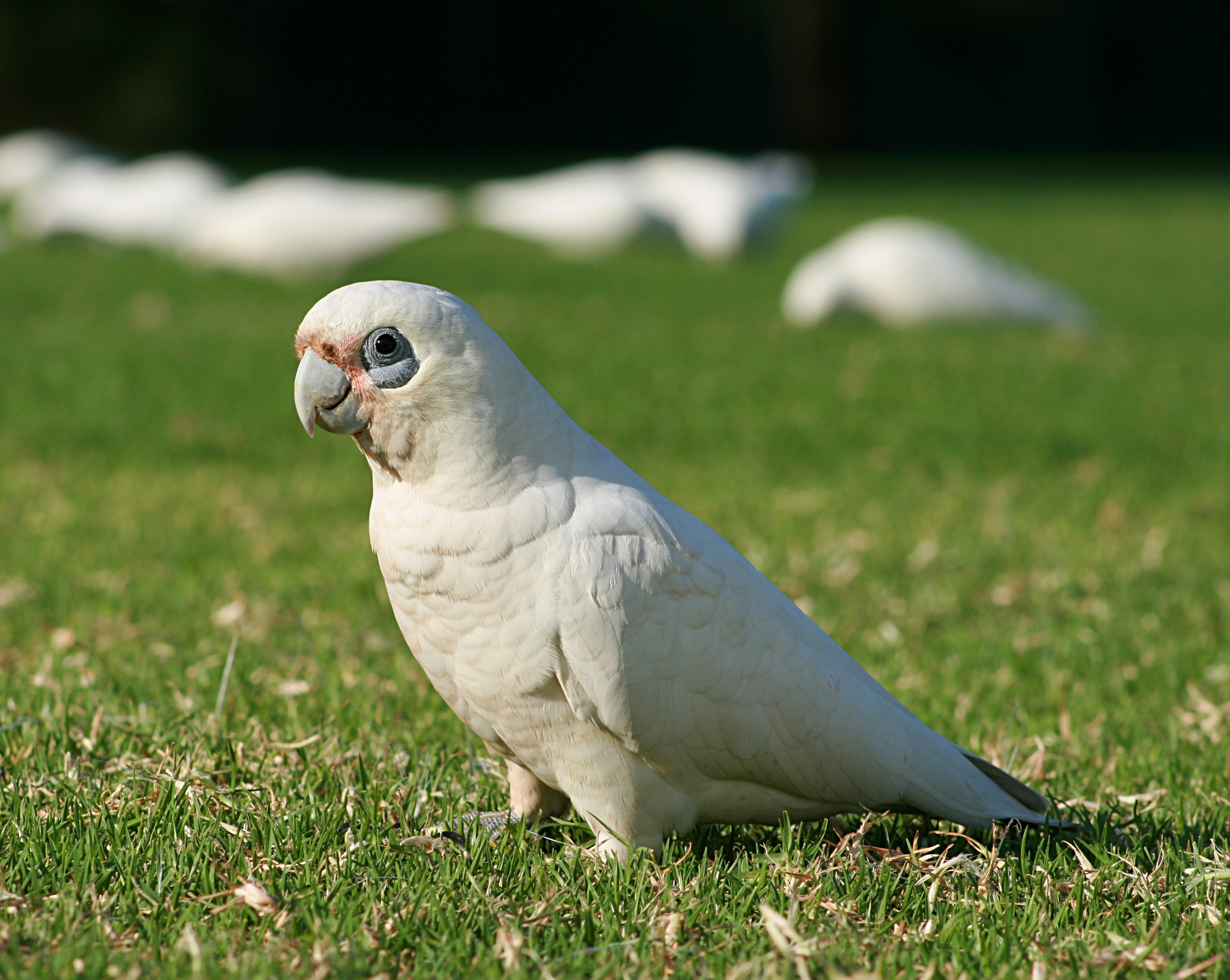 Little Corella 2