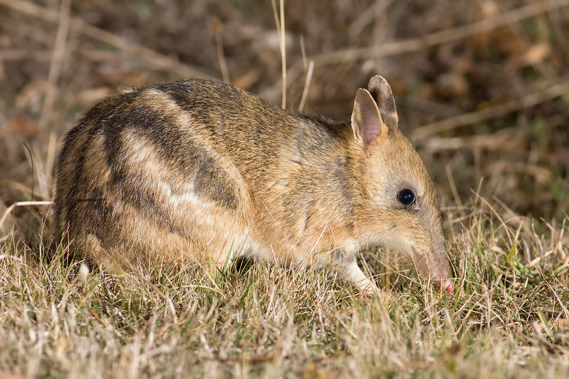 Long-nosed bandicoot 2