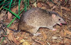 Northern brown bandicoot 2
