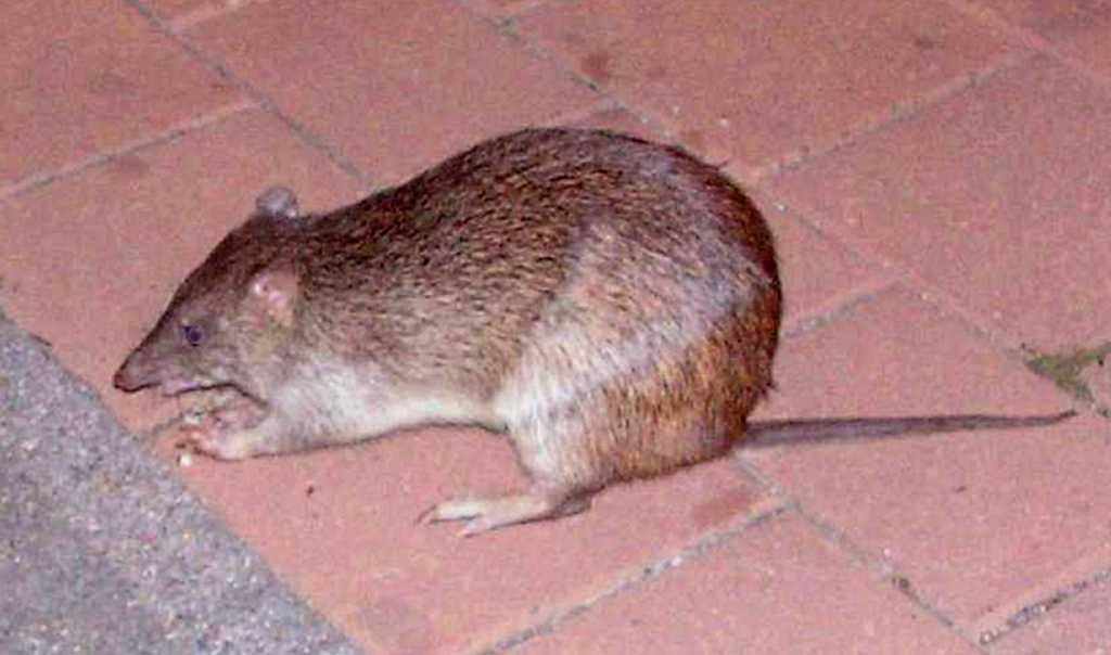 Northern_Brown_Bandicoot