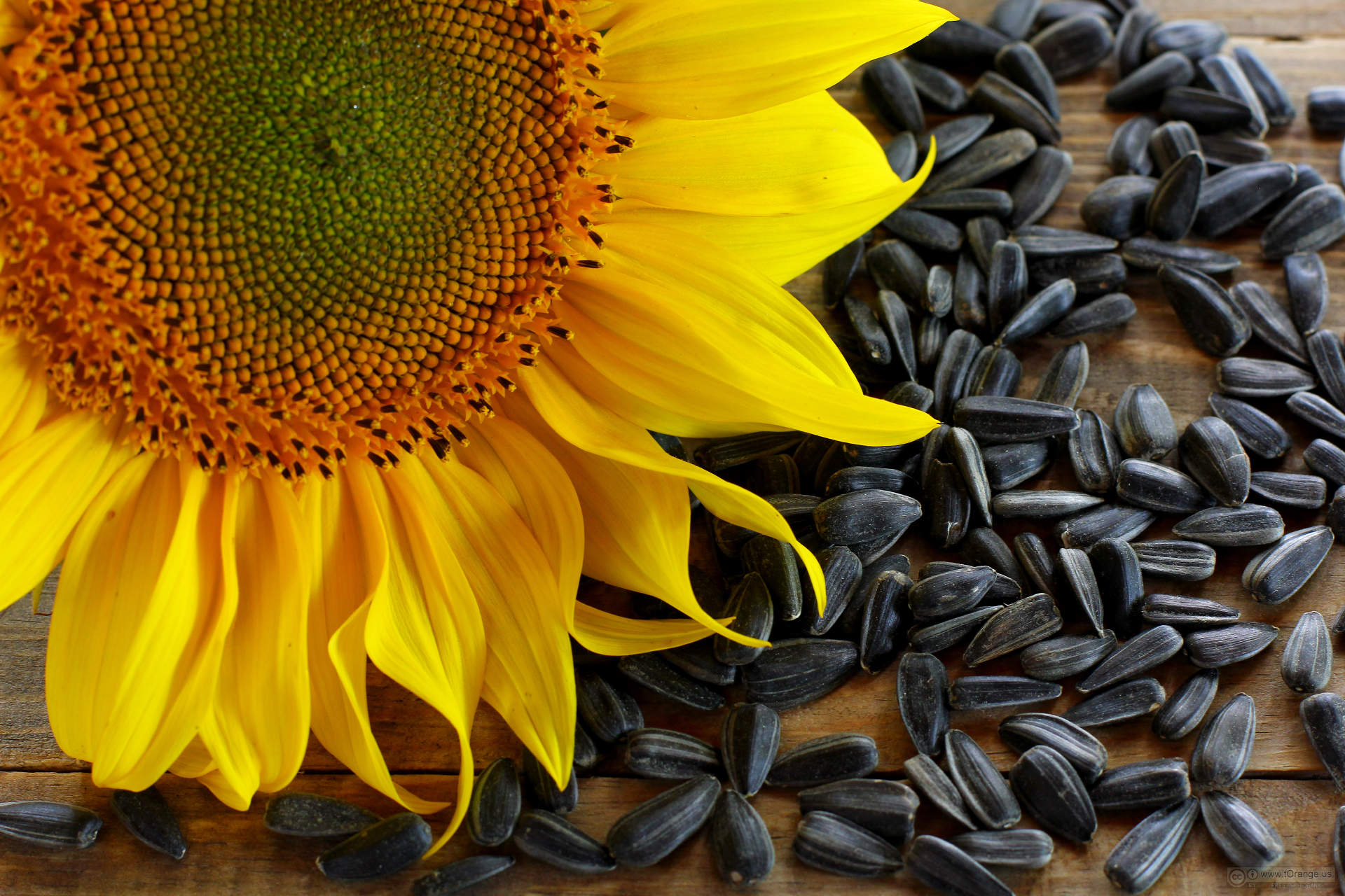 Oil seed sunflower