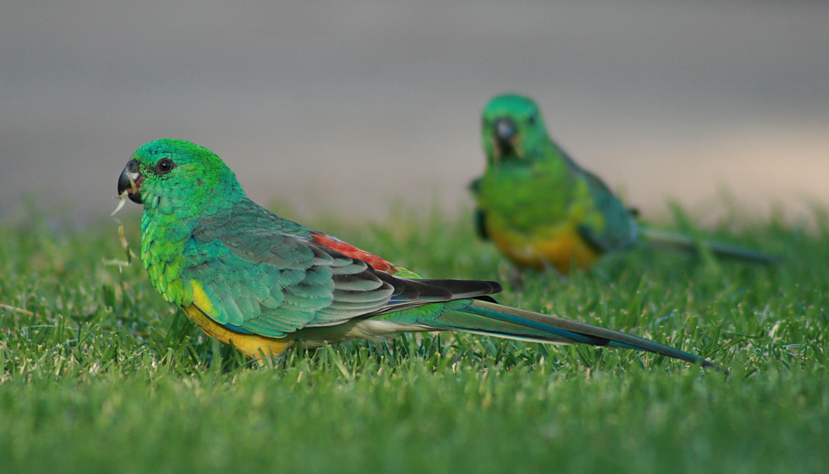 Red_Rumped_Parrot_Males