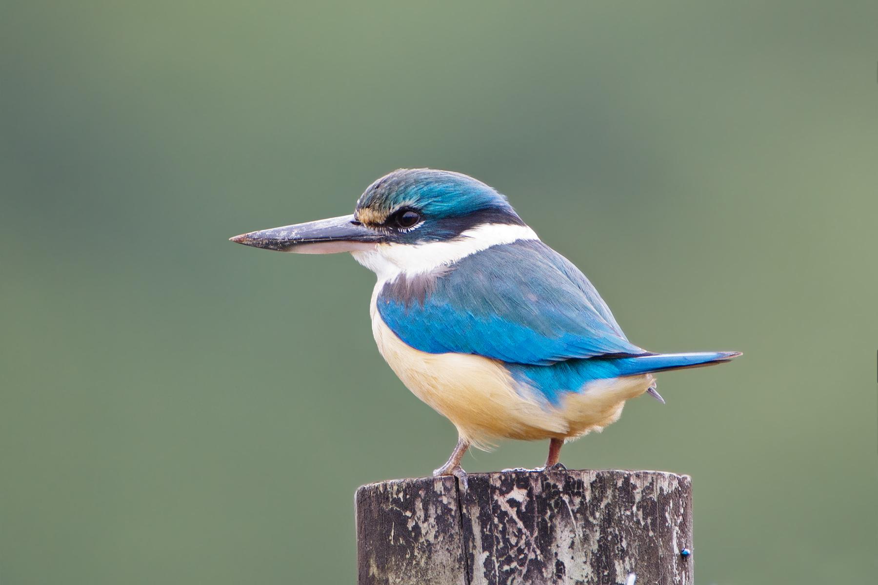 Sacred Kingfisher 1