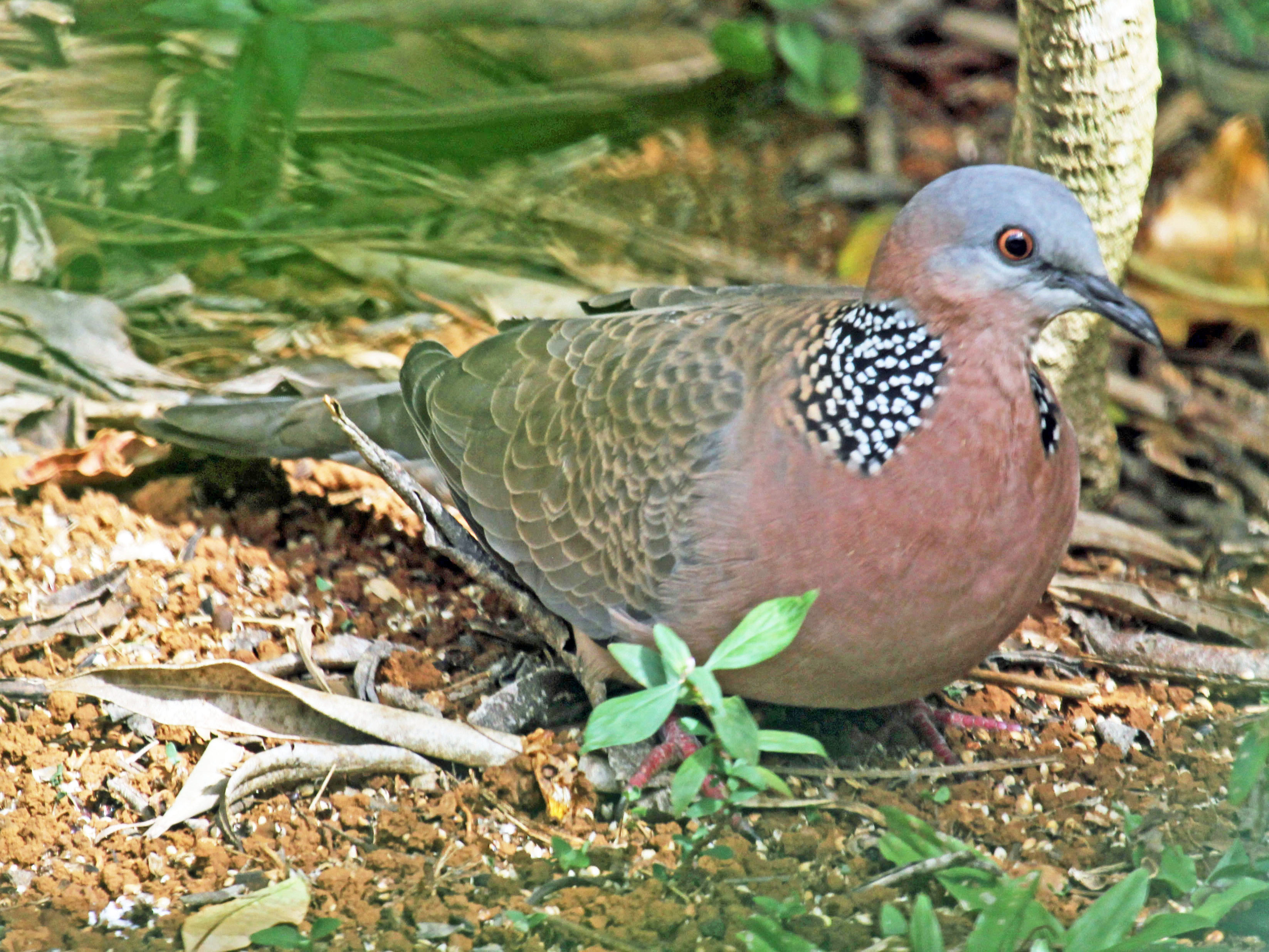 Spotted Turtle Dove 1