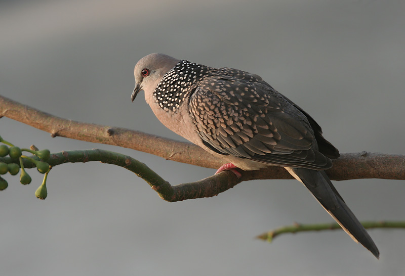 Spotted Turtle Dove 2