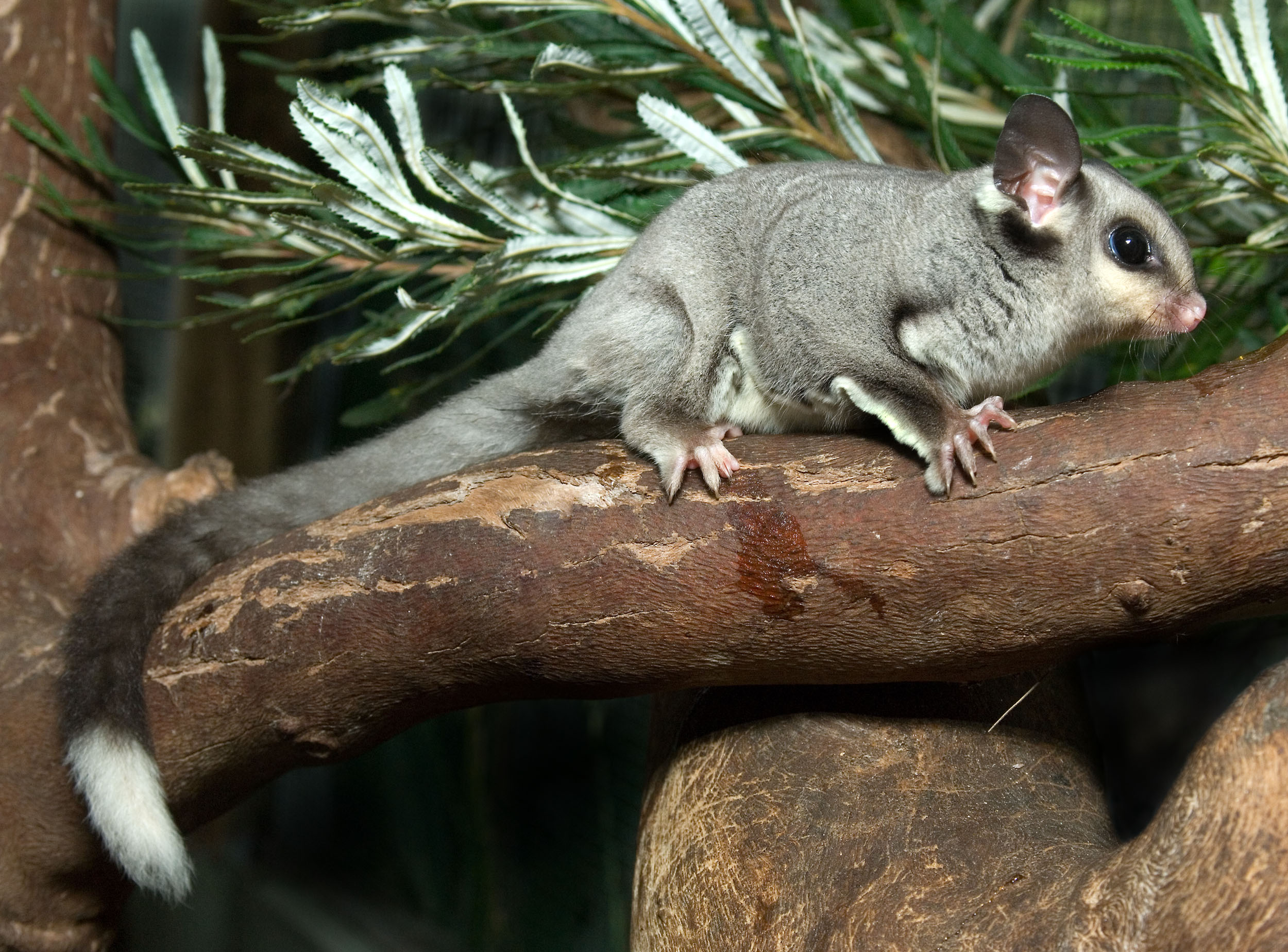 Squirrel glider 2