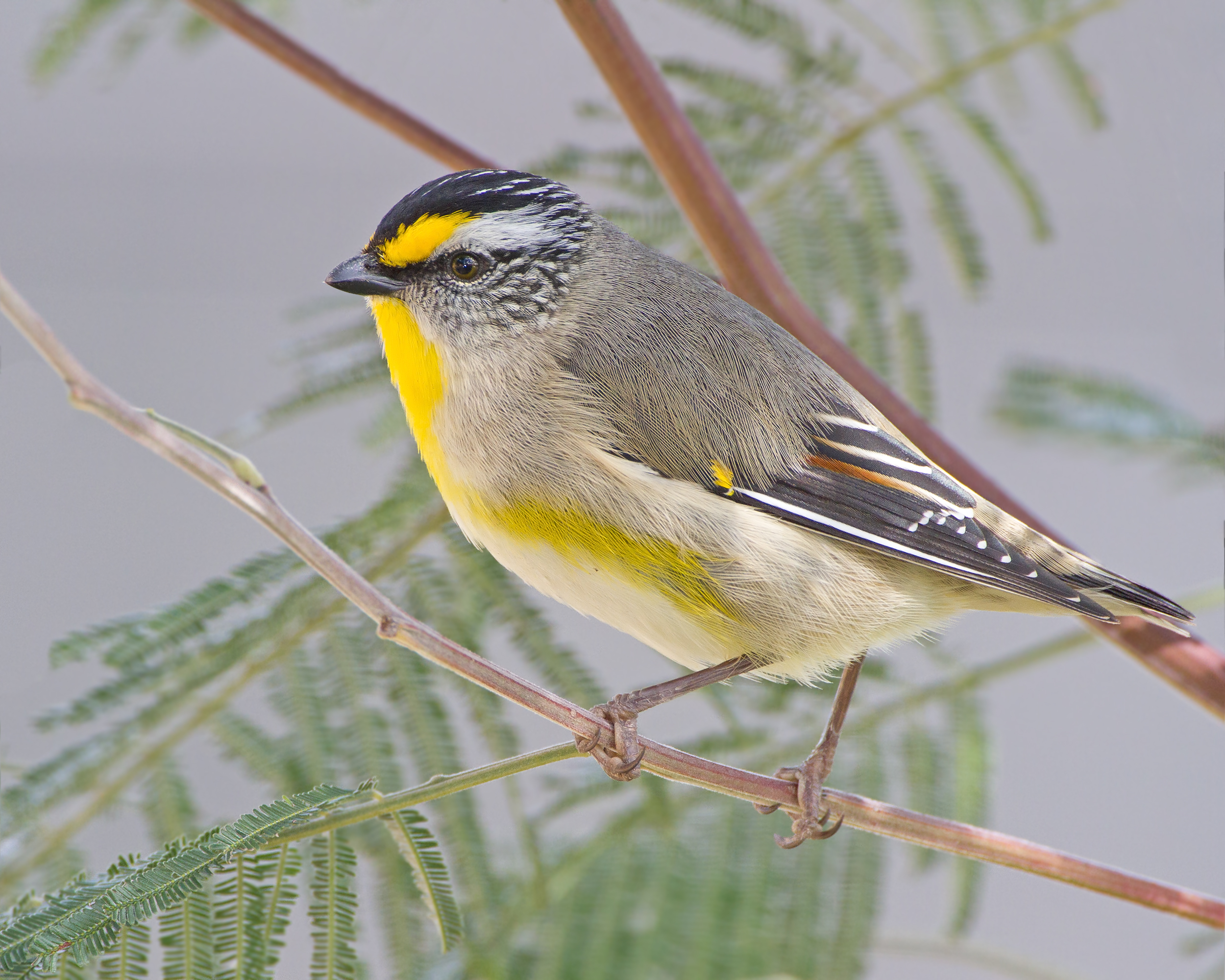 Striated Pardalote 1