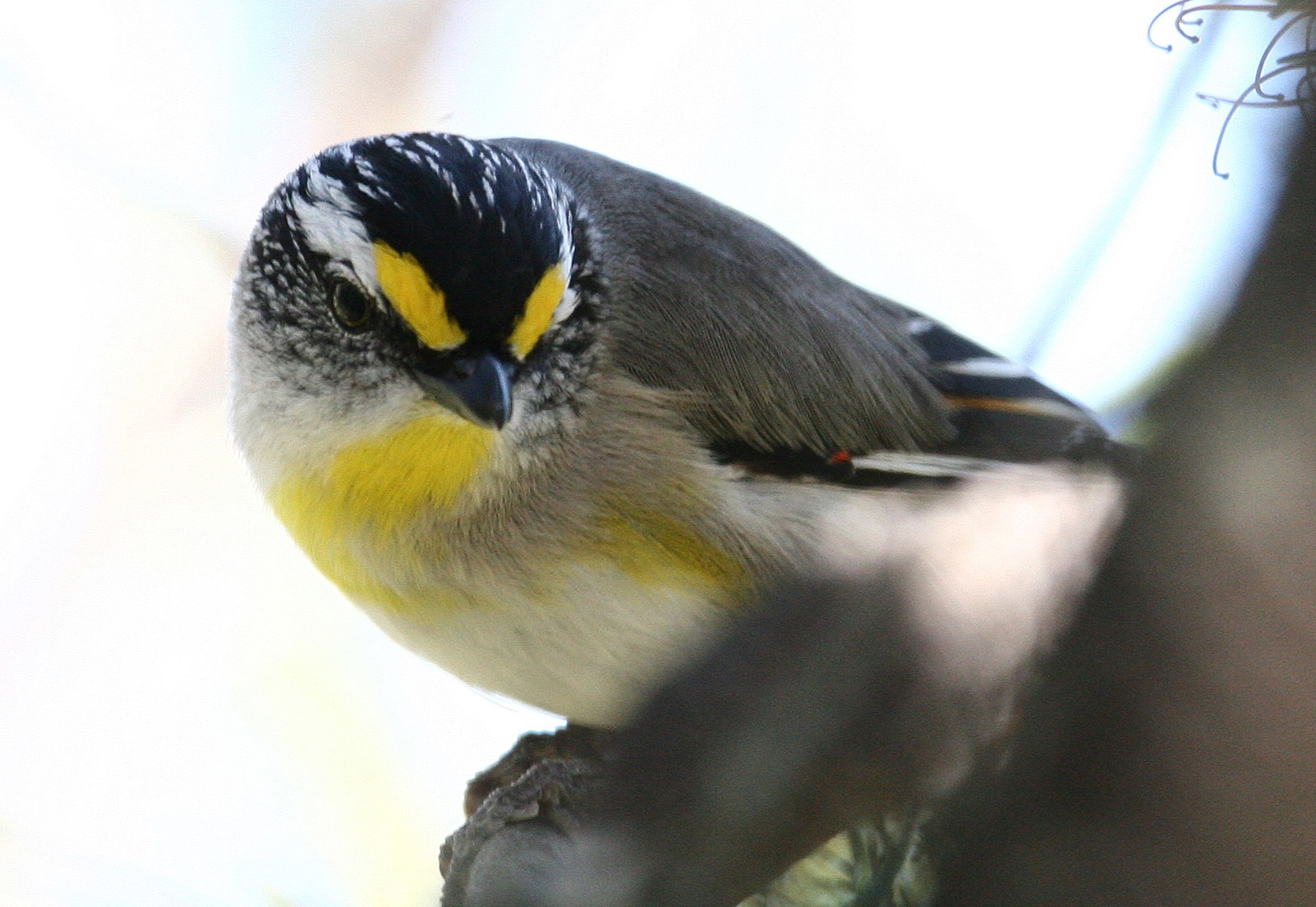 Striated Pardalote 2