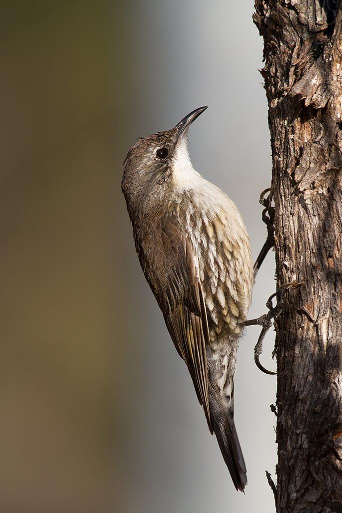 White-throated Treecreeper 1