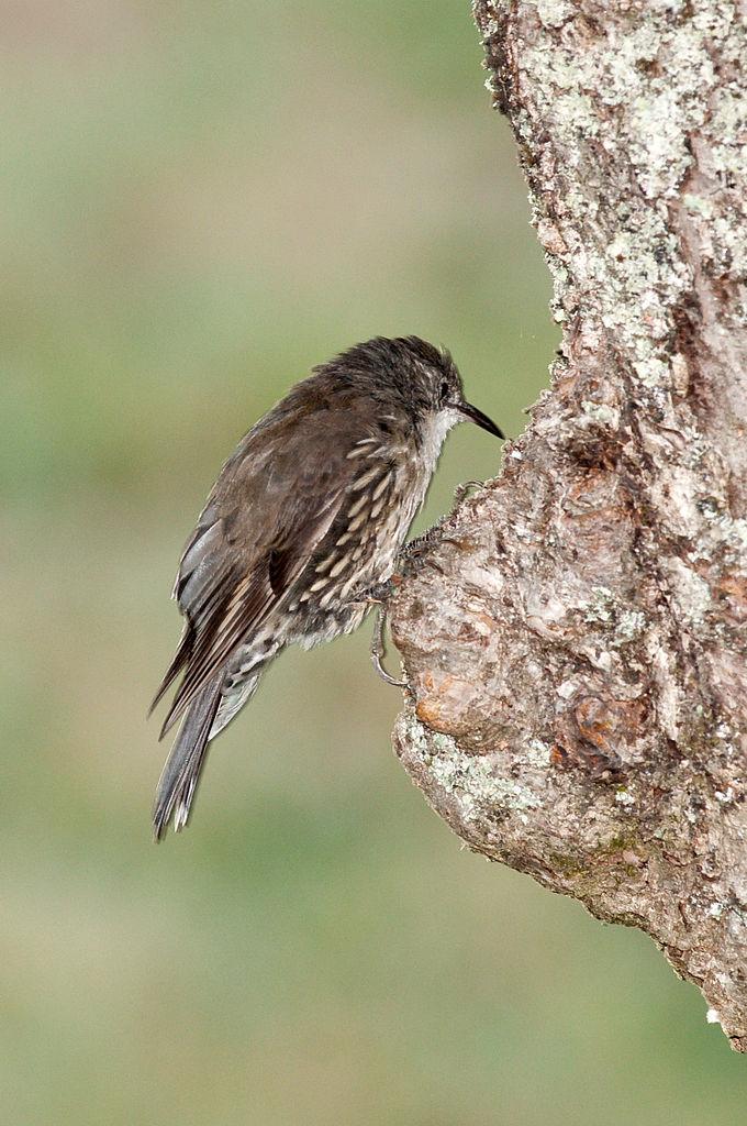 White-throated Treecreeper 2