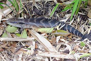 300px-Eastern_blue_tongued_lizard