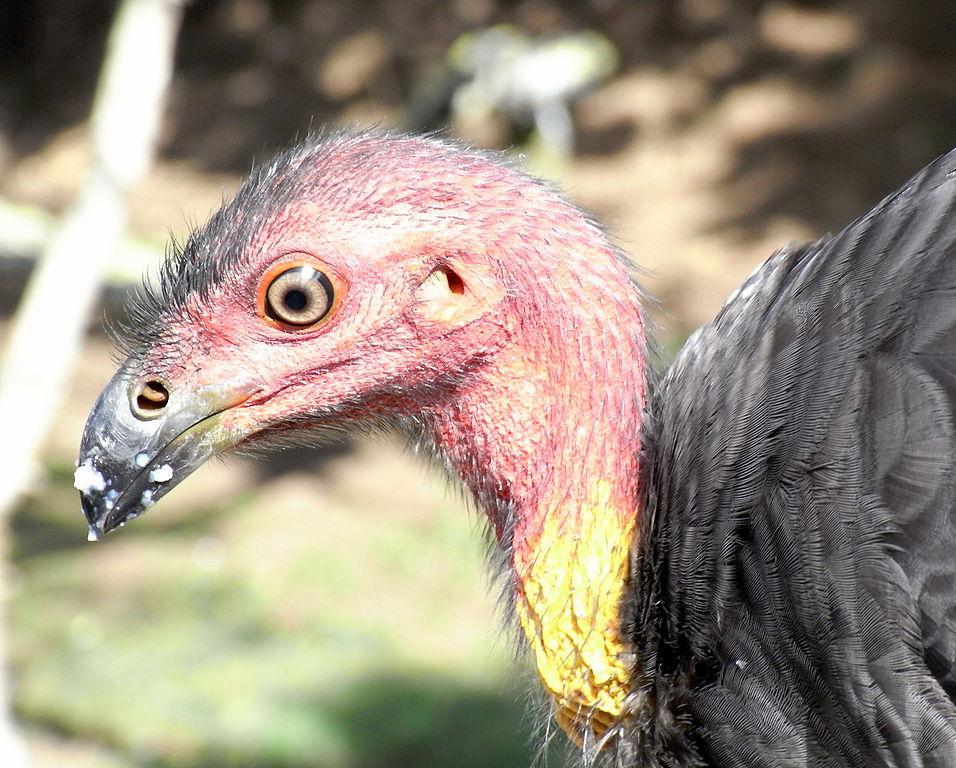 956px-Australian_Brush-Turkey_Head
