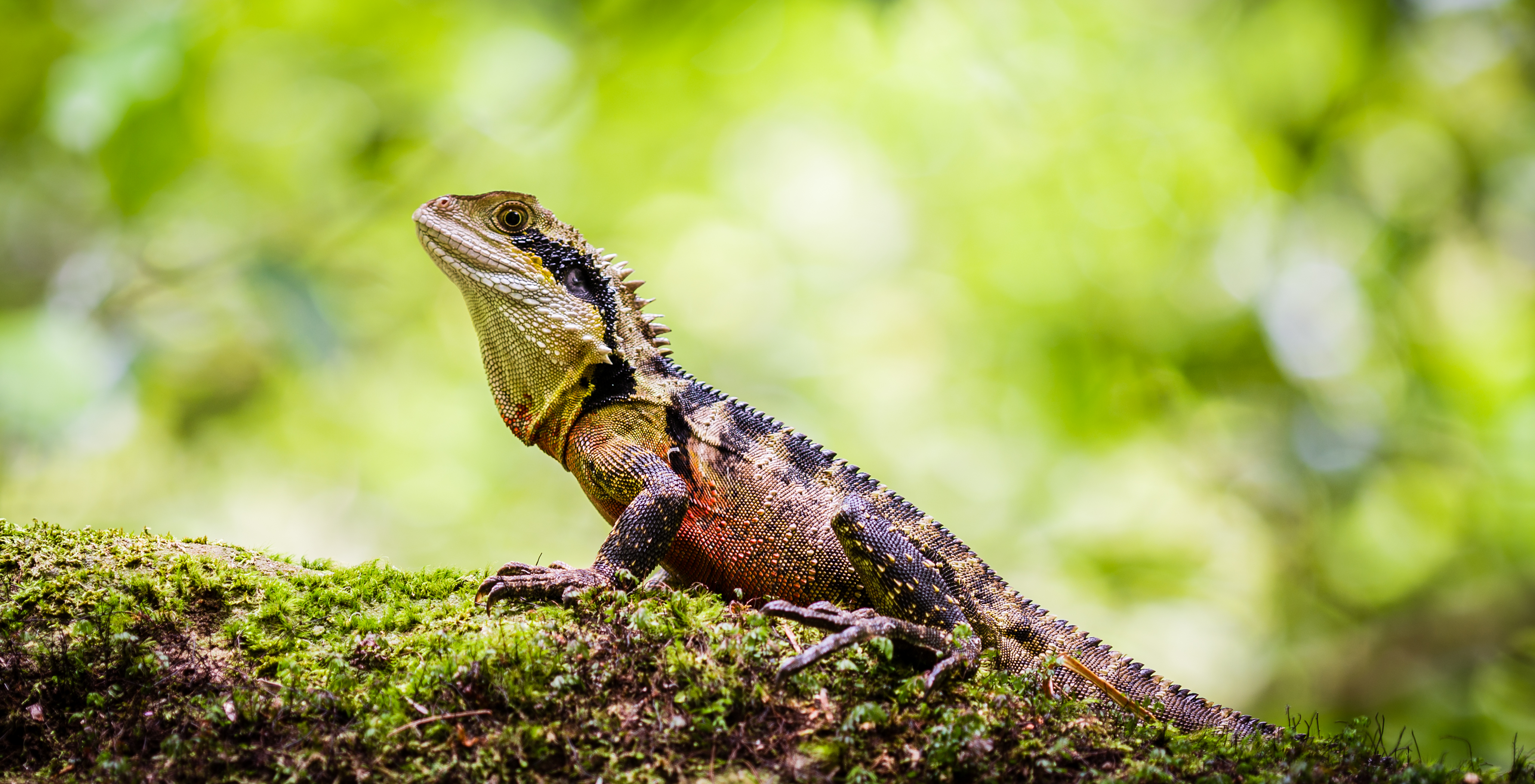 Australian_Eastern_Water_Dragon_basking_in_the_sun_at_Blue_Mountains_NSW_Australia