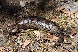 Blotched_Blue_Tongue_(Tiliqua_nigrolutea)_(8485228336)