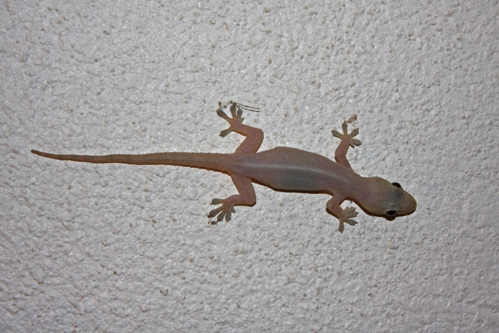 Common_House_Gecko_(Hemidactylus_frenatus)2