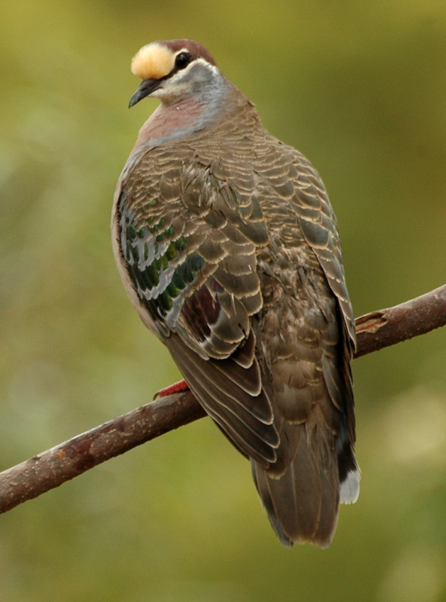 Common_bronzewing_kobble05