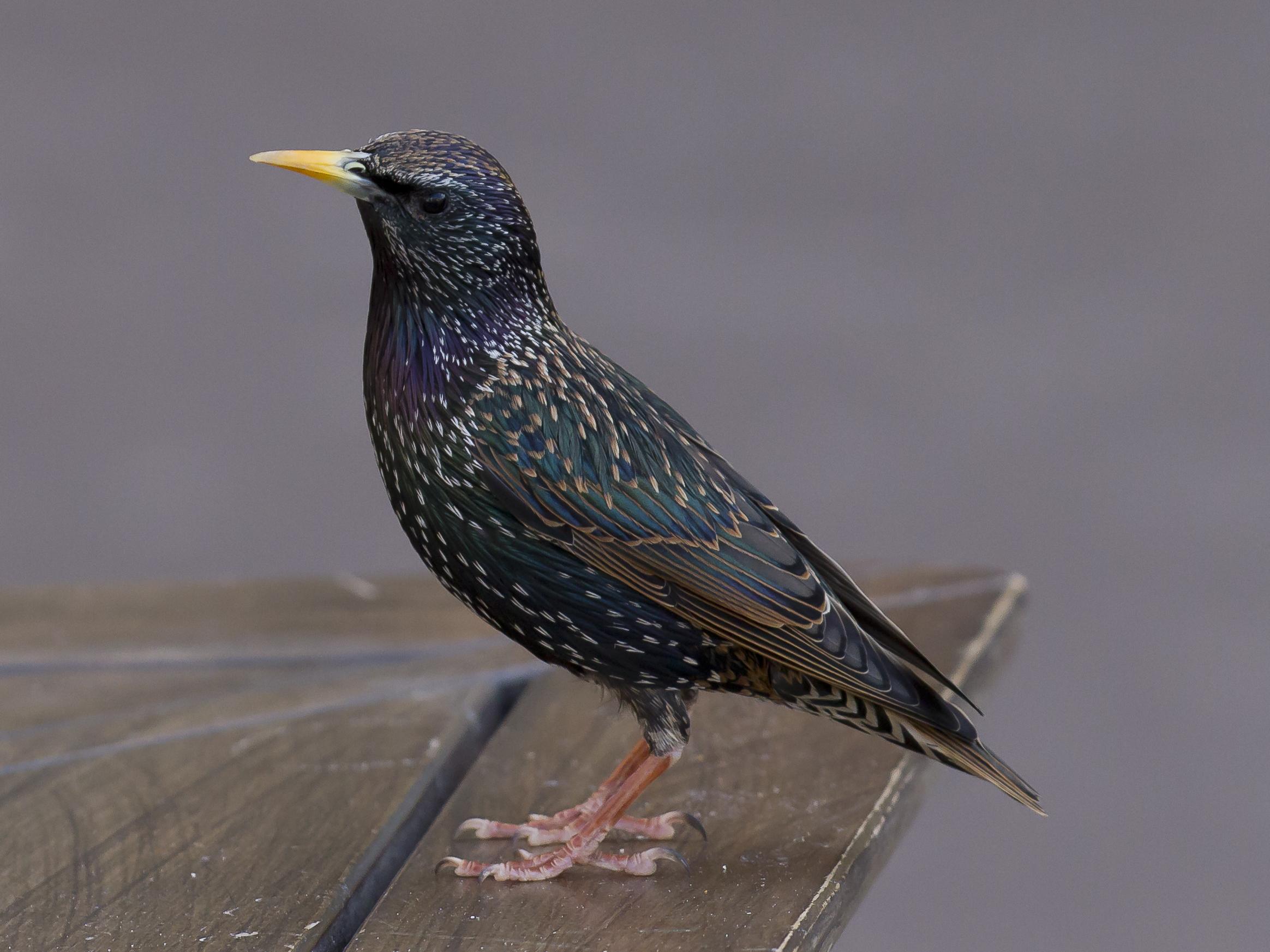 common starling 2