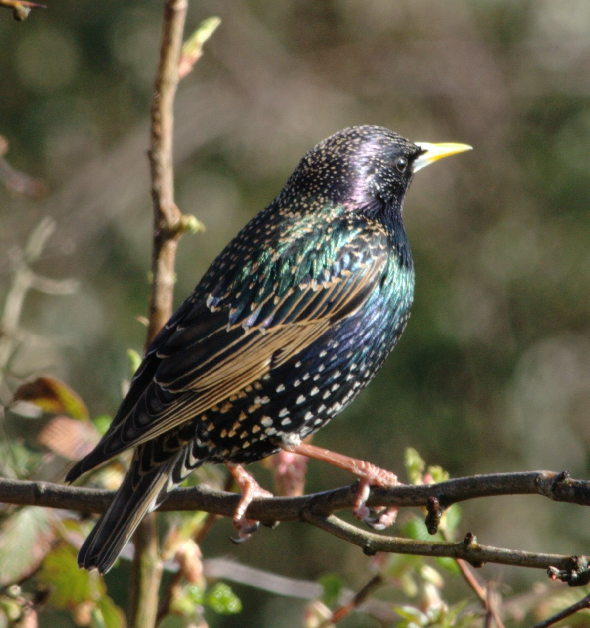 common_starling