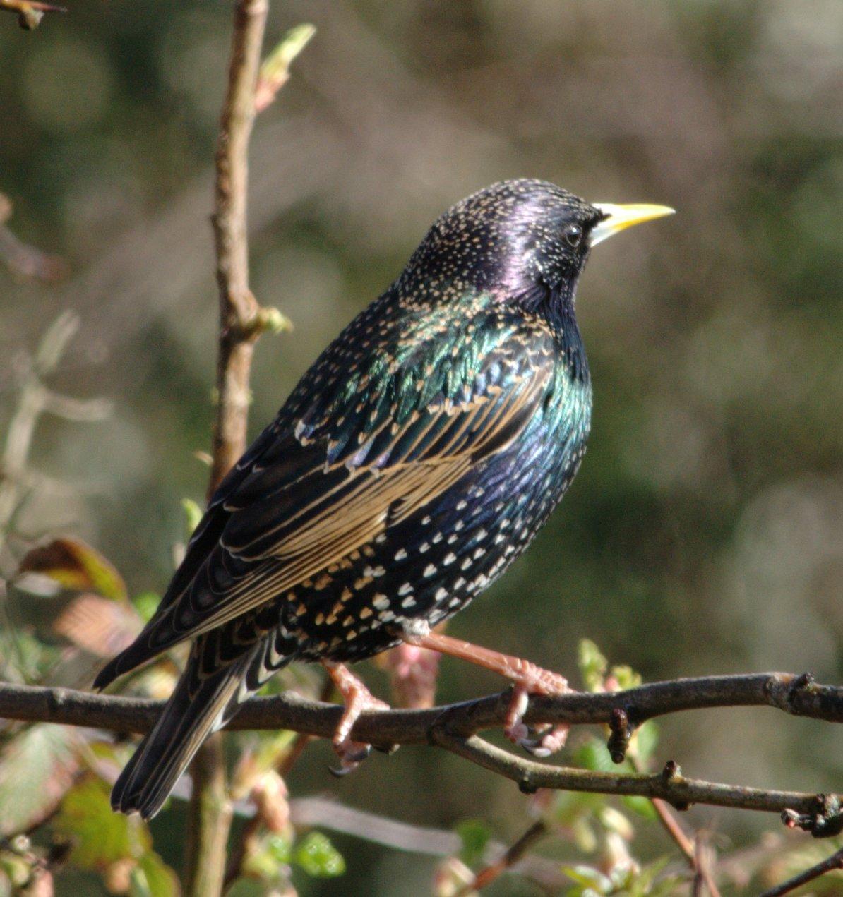 common_starling