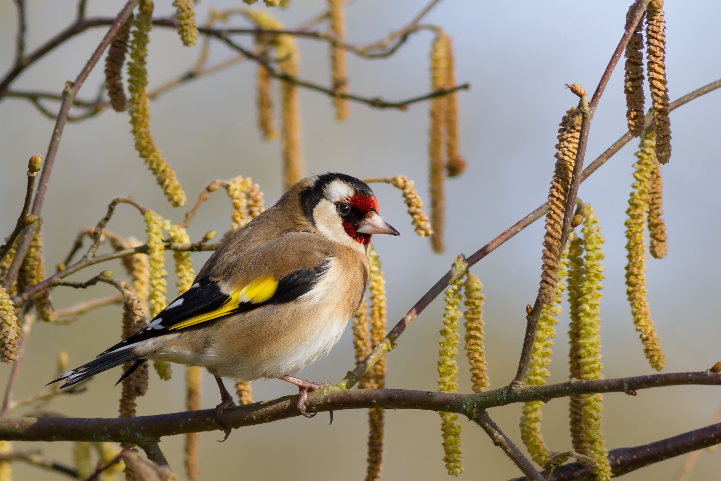 european goldfinch 2